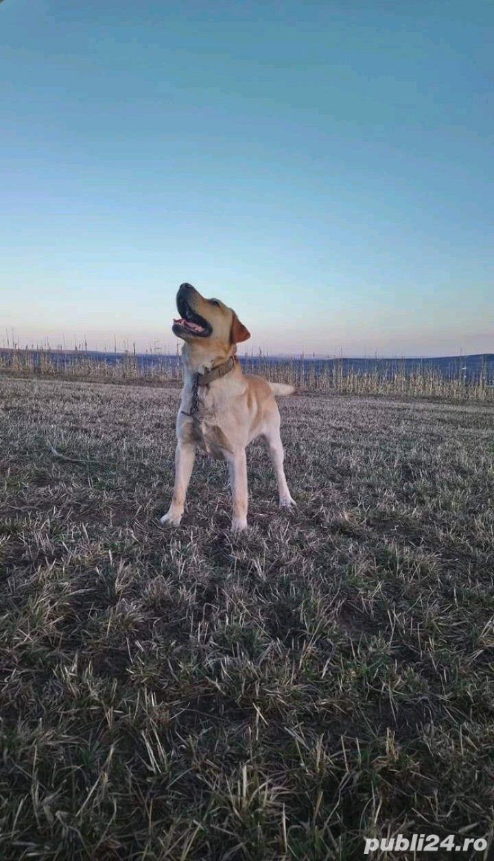 Labrador montă