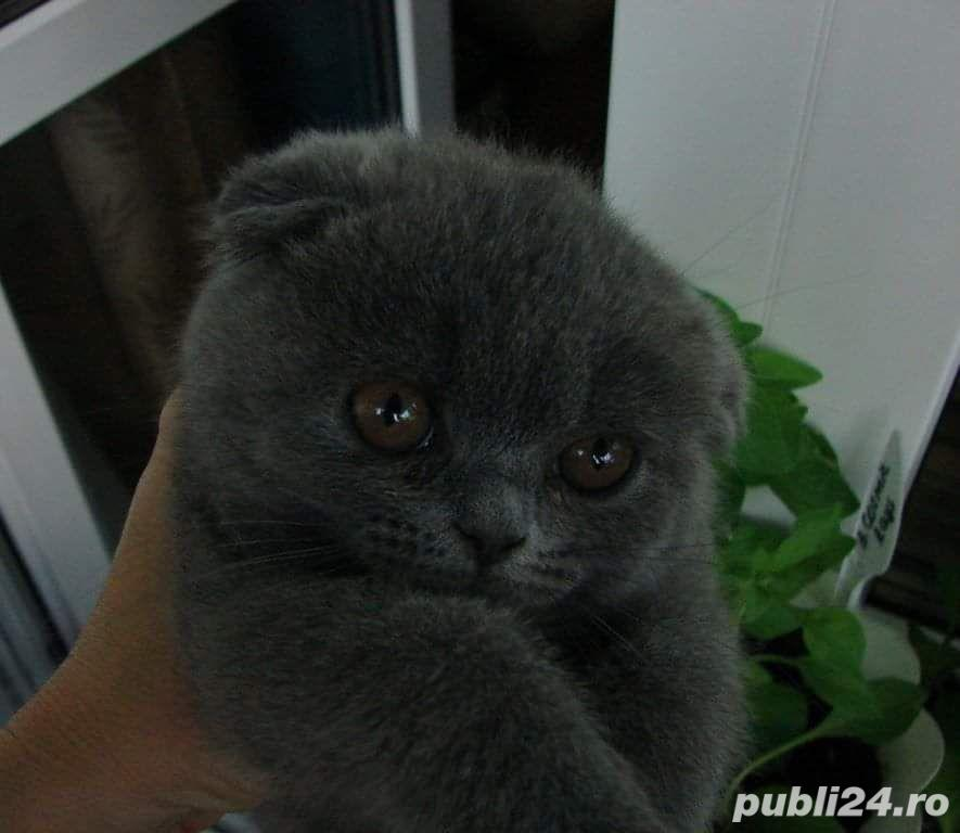 pui scottish fold