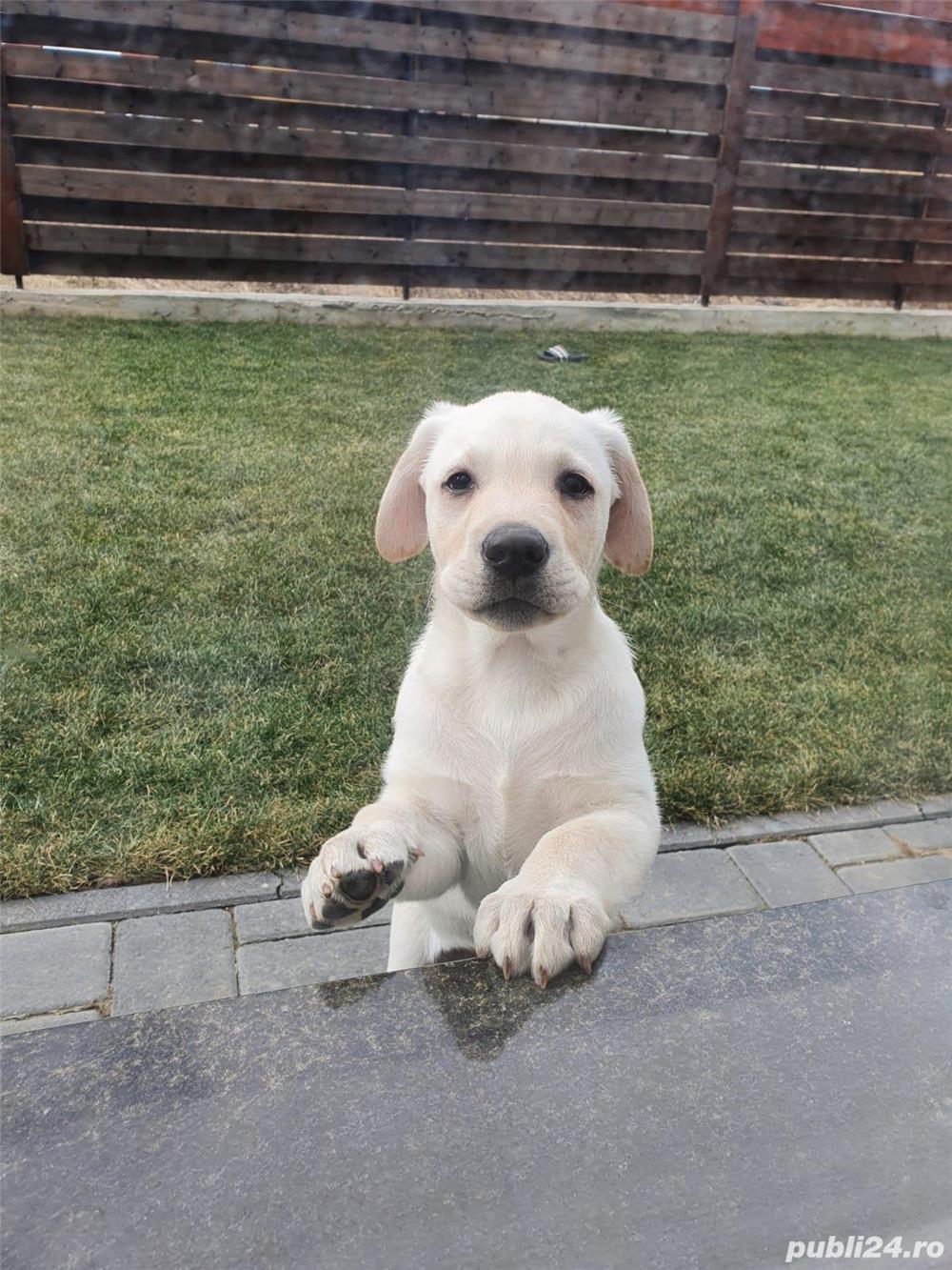 Labrador Retriver Monta