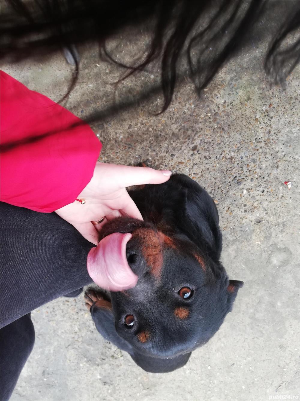 Vând Rottweiler femelă