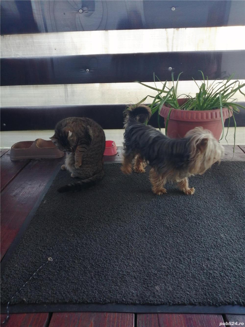 Mascul yorkshier terrier minitoy pentru monta