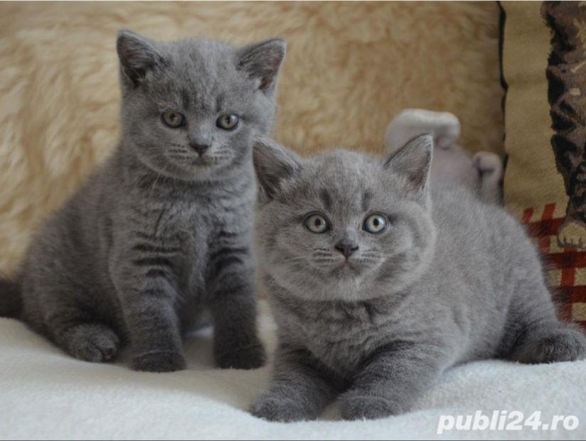 British Shorthair Bleu,de calitate,Felisă!!!