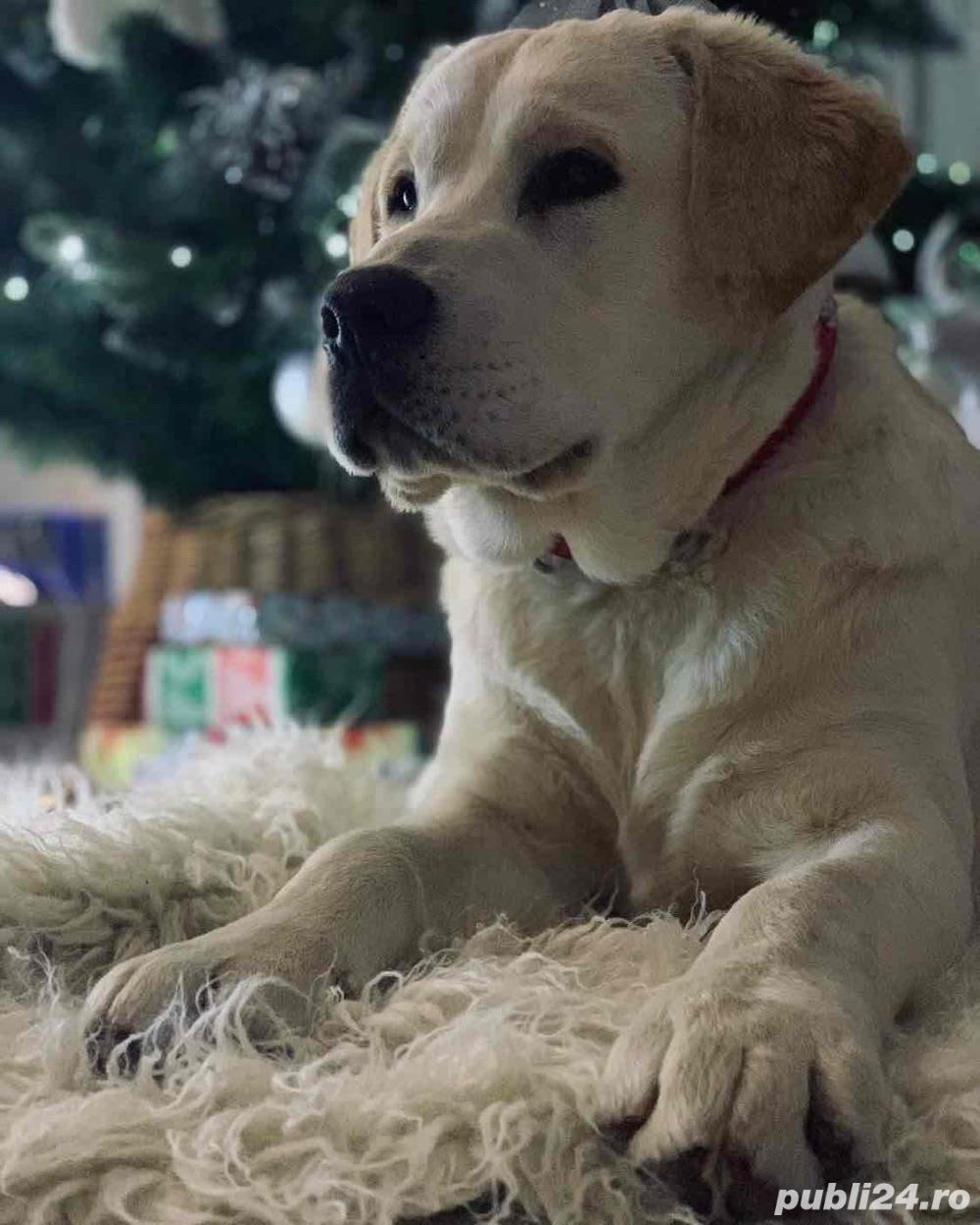 Mascul Labrador montă
