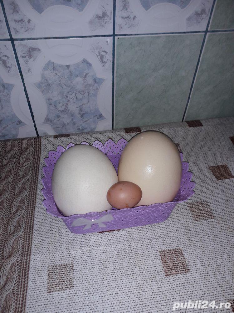 Vand oua de Strut(pentru consum