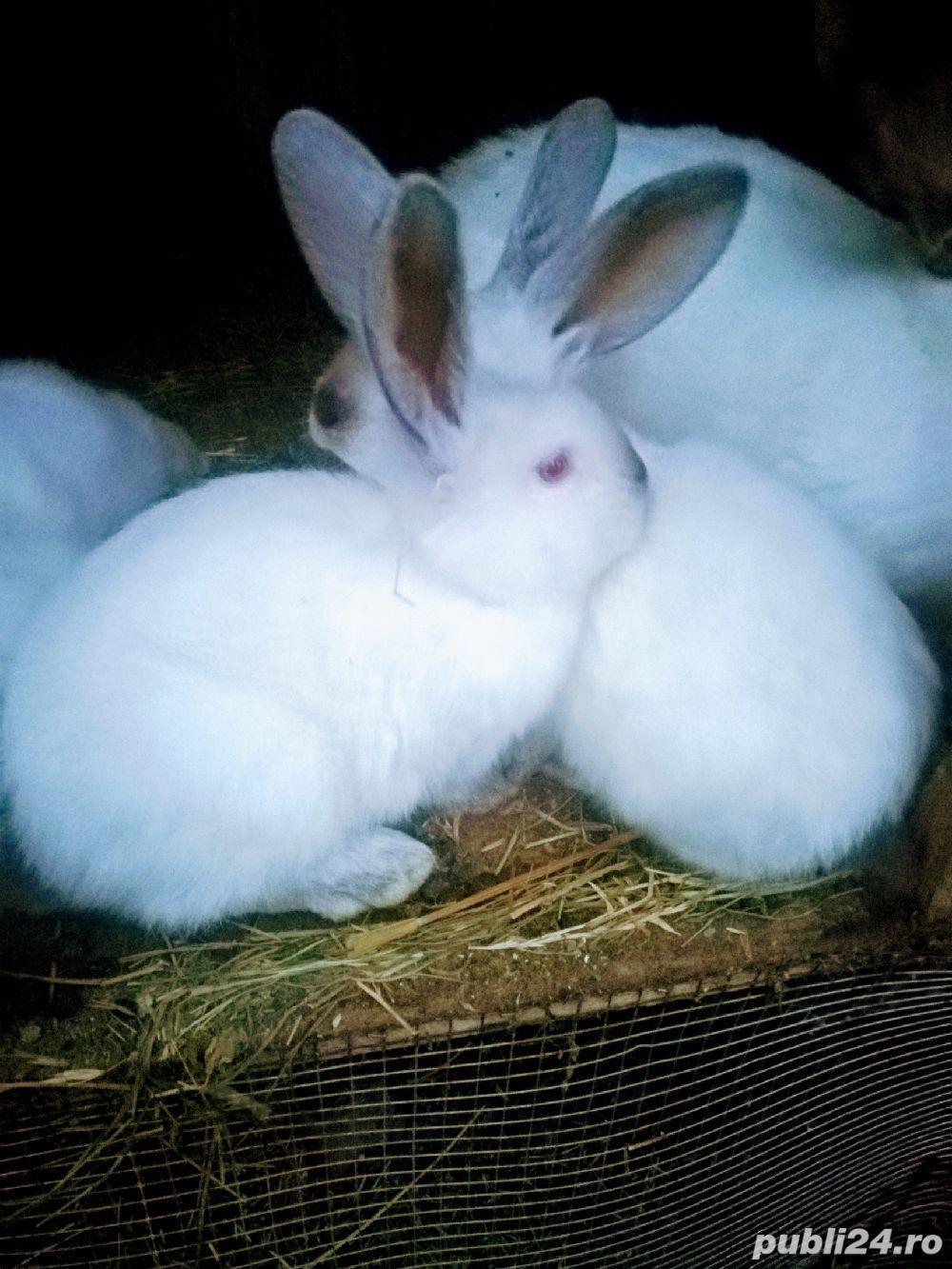 Vind iepuri de rasa