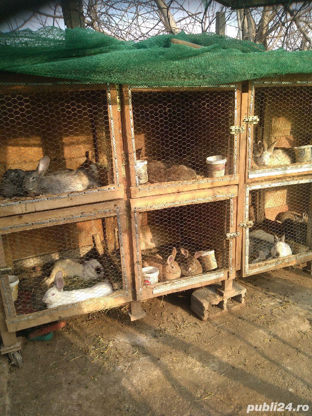 Vând iepuri de rasă și metiși