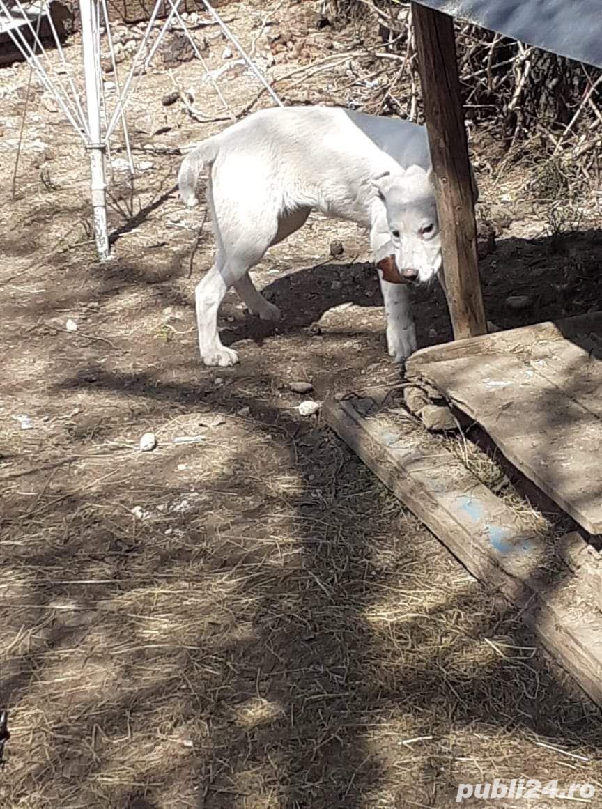 Pui Labrador Retriever încrucișat cu Dog Argentinian