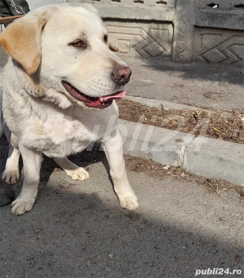 Labrador auriu
