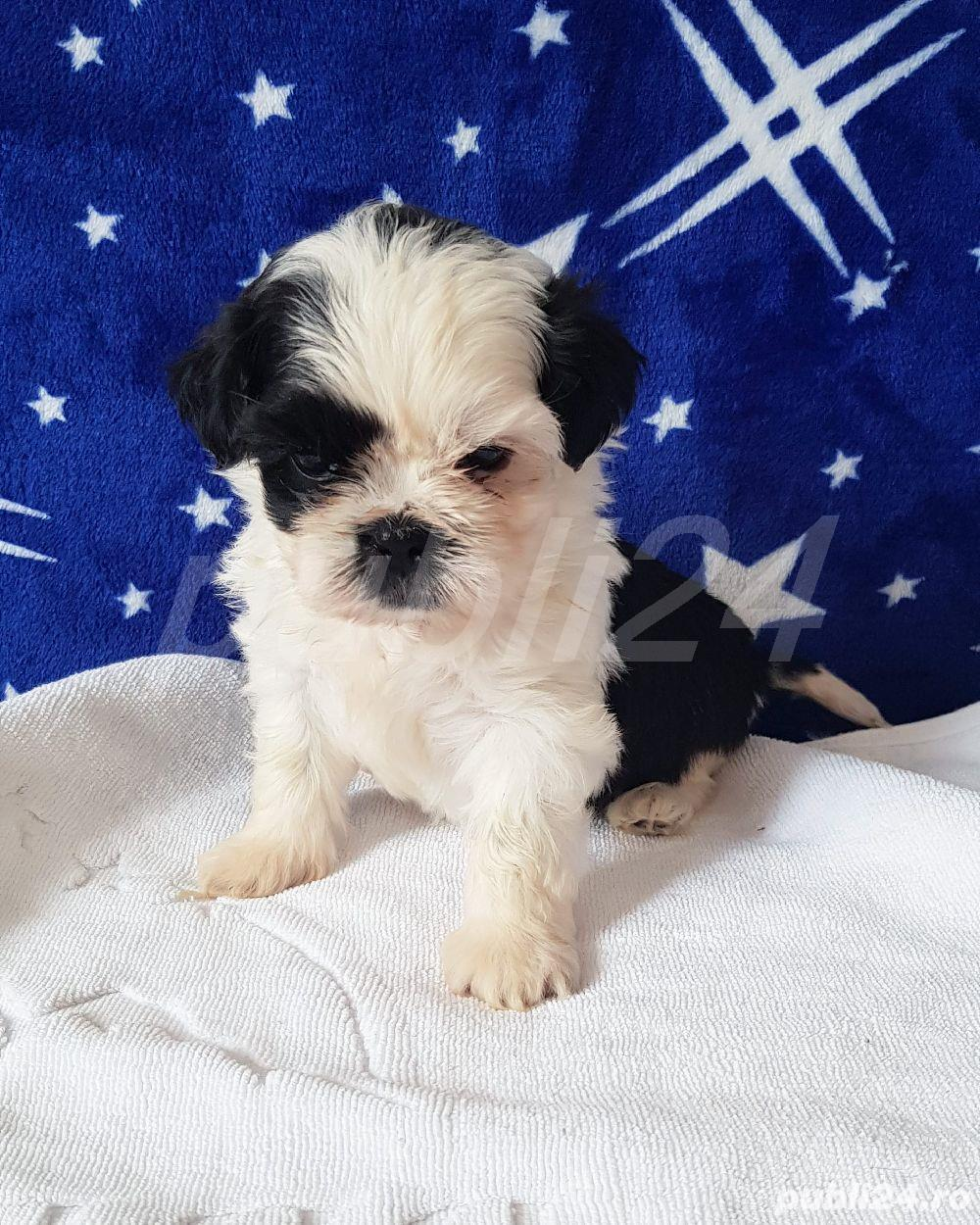 Shih Tzu Mini Toy Pedigree