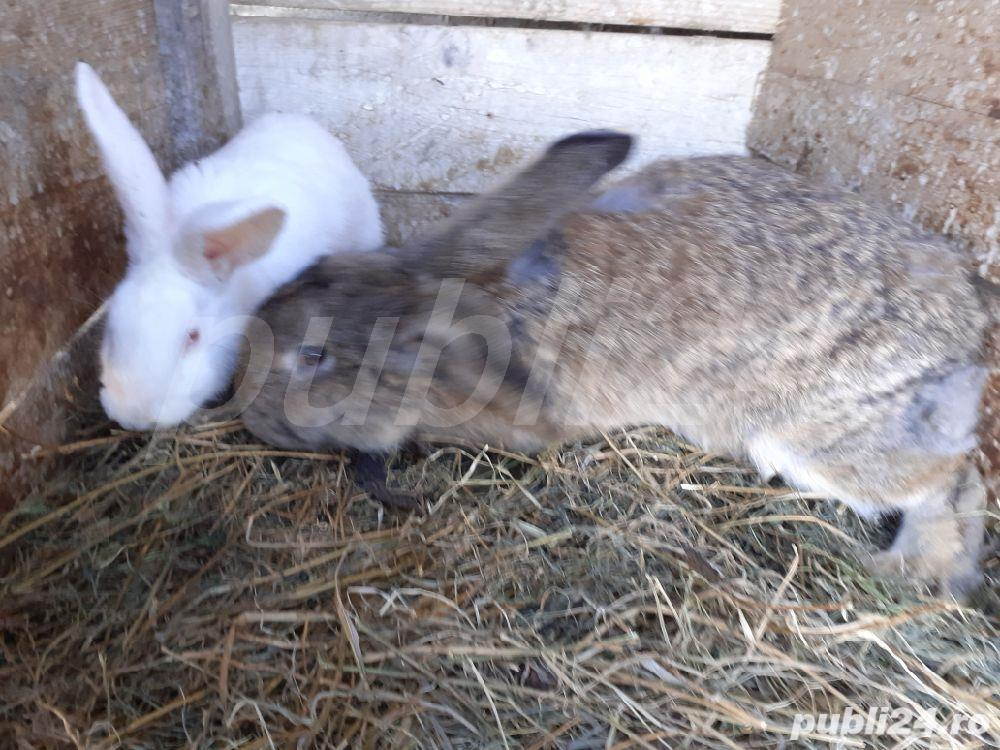 vind 2 iepuri sau fac si schimb cu gaini iepuroica este mare