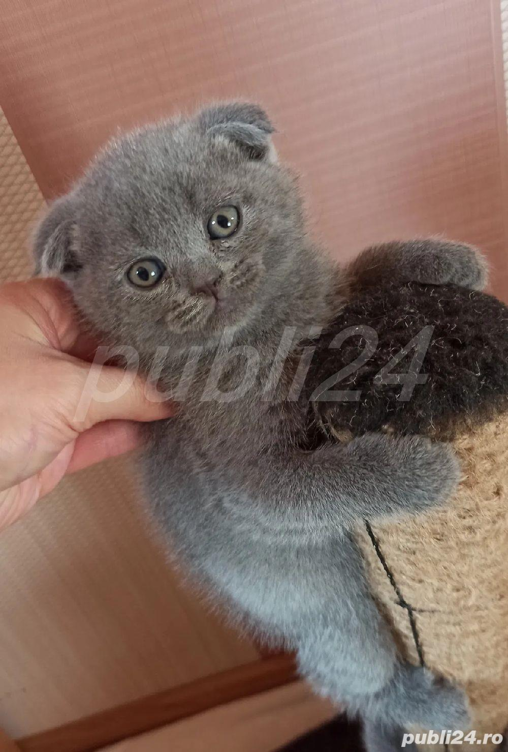 scottish fold blue