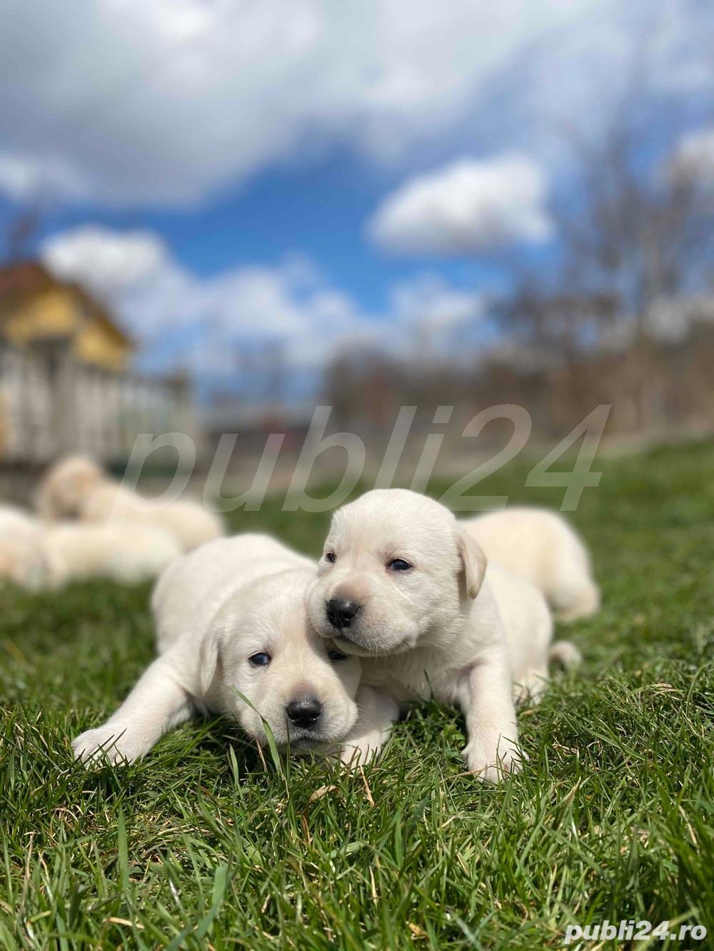 Labradori Golden
