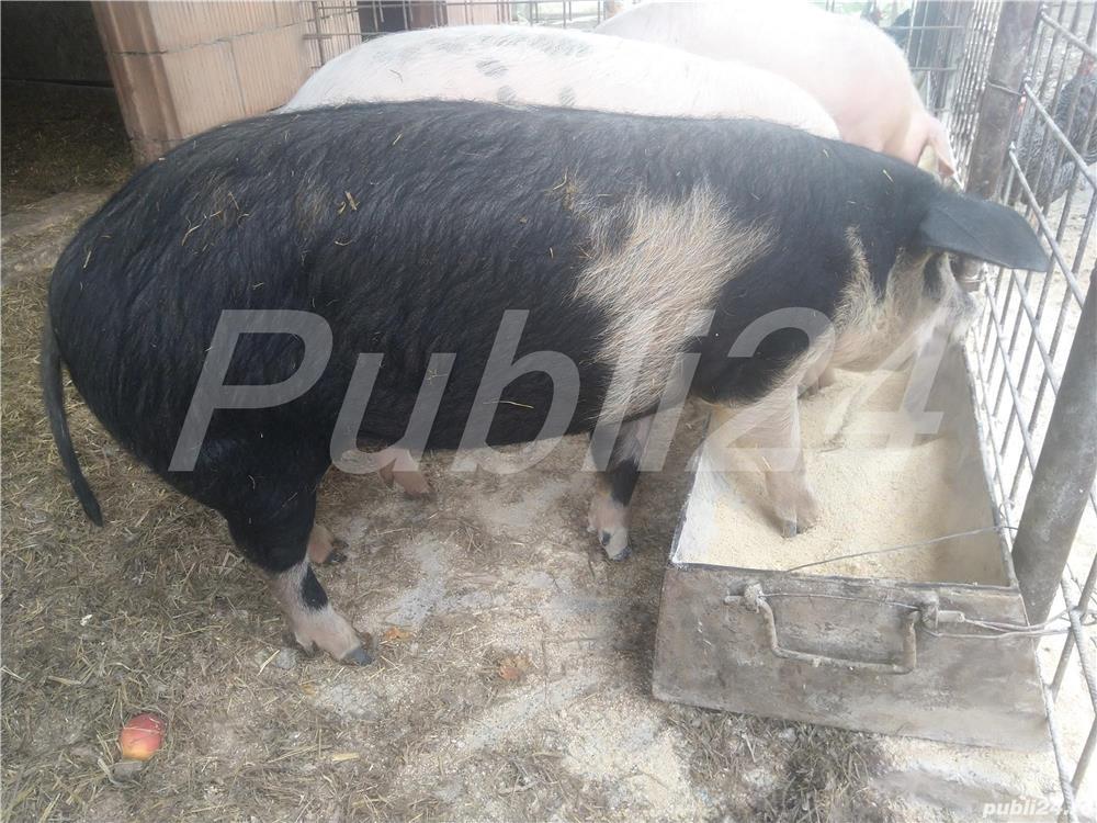 Vând porci de carne