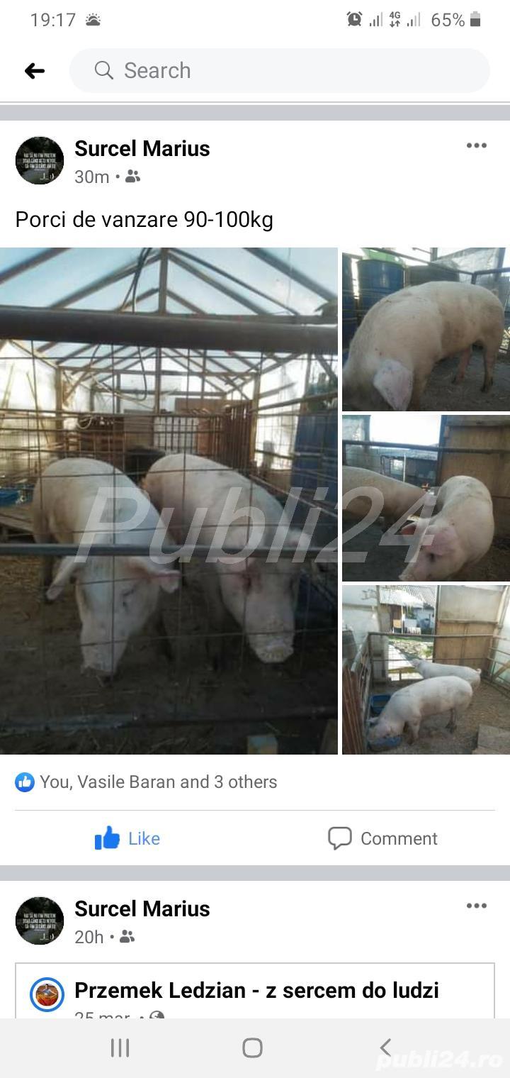 Porci 90-100kg