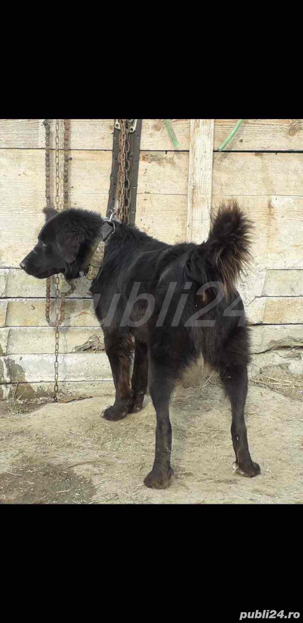 Ciobanesc Romanesc Corb