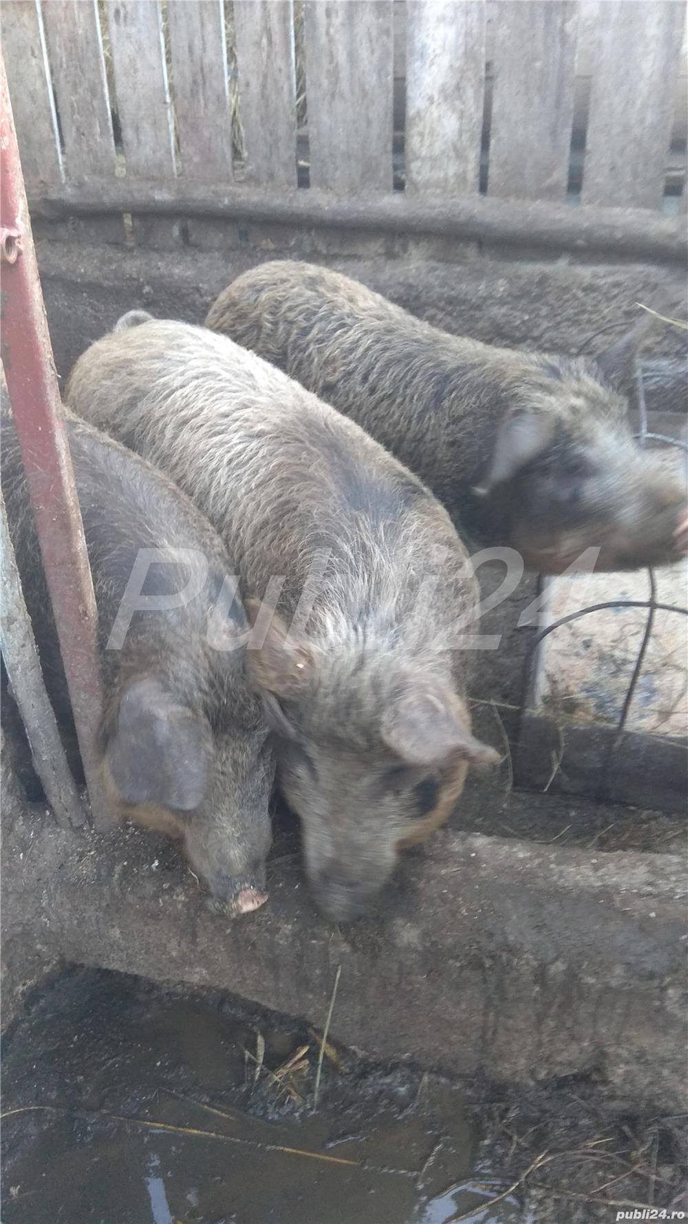Vând porc mangalita