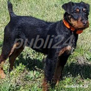 caut/adopt jagdterrier