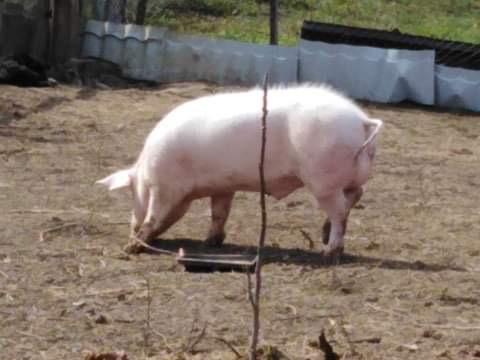 Vand vier, scrofita, porc