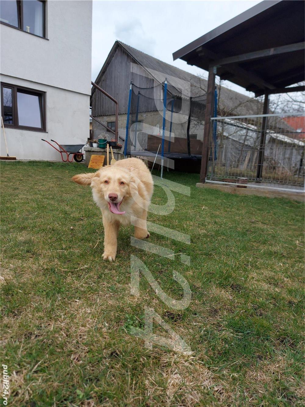 Vând Labrador Retriever
