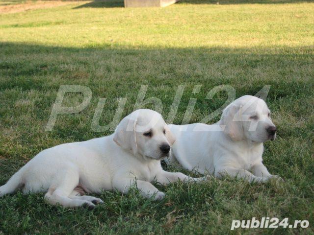 Labrador Retriever, par scurt, factura fiscala, garantie, transport in tara