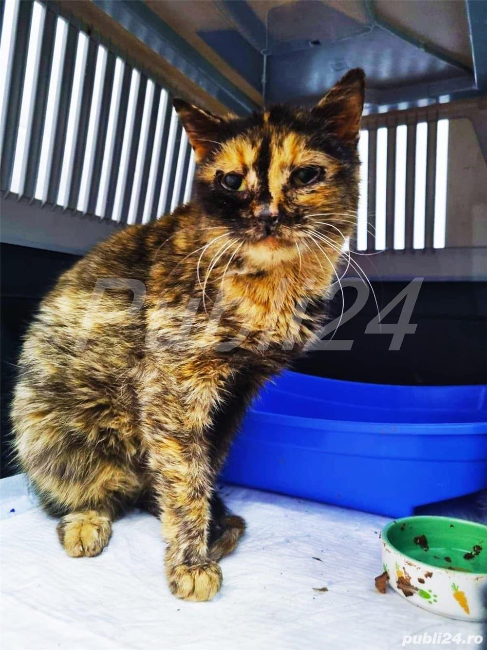 pisică tortoiseshess sterilizată pentru adopție
