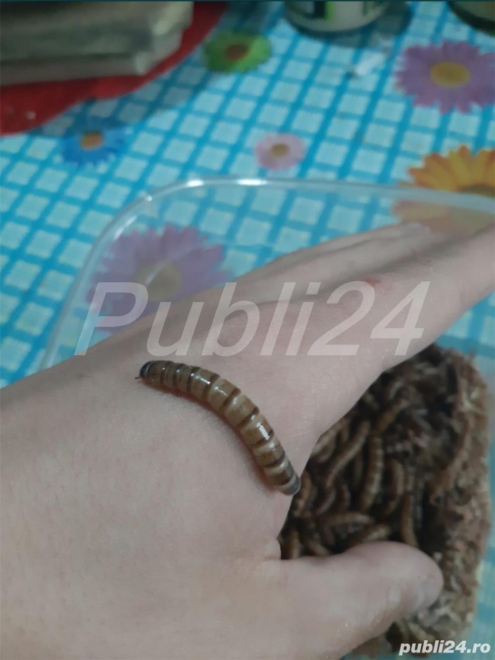 Superworms și Mealworms vii
