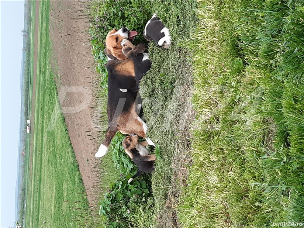 mascul beagle pentru monta