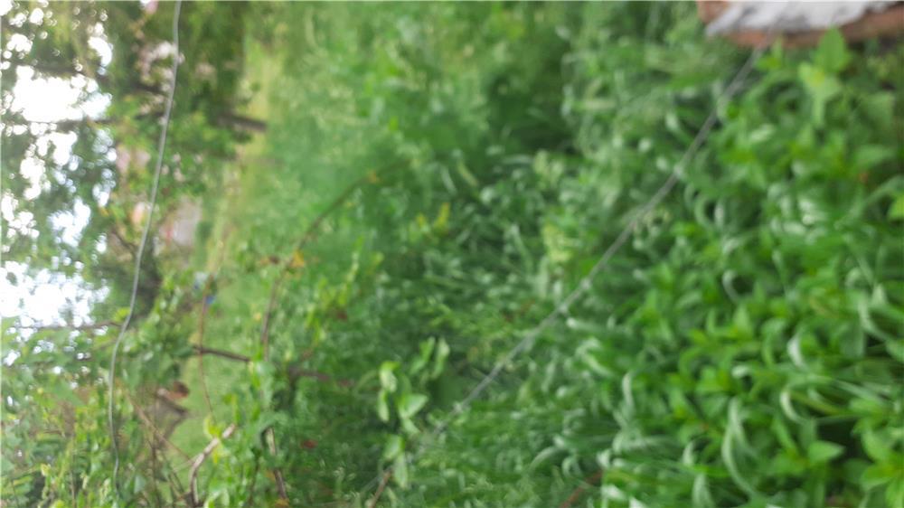 Trifoi lucernă(iarbă) în Micălaca