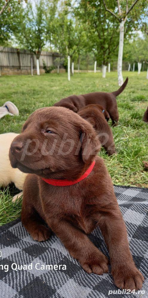 Pui de Labrador Retriever CIOCOLATIU si CREM