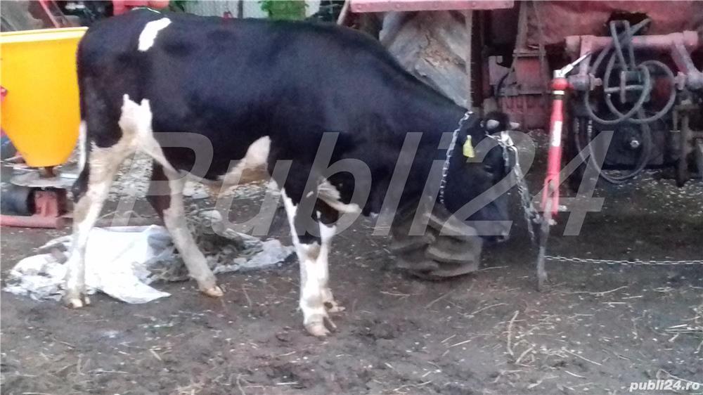 Vaci cu lapte și vitel