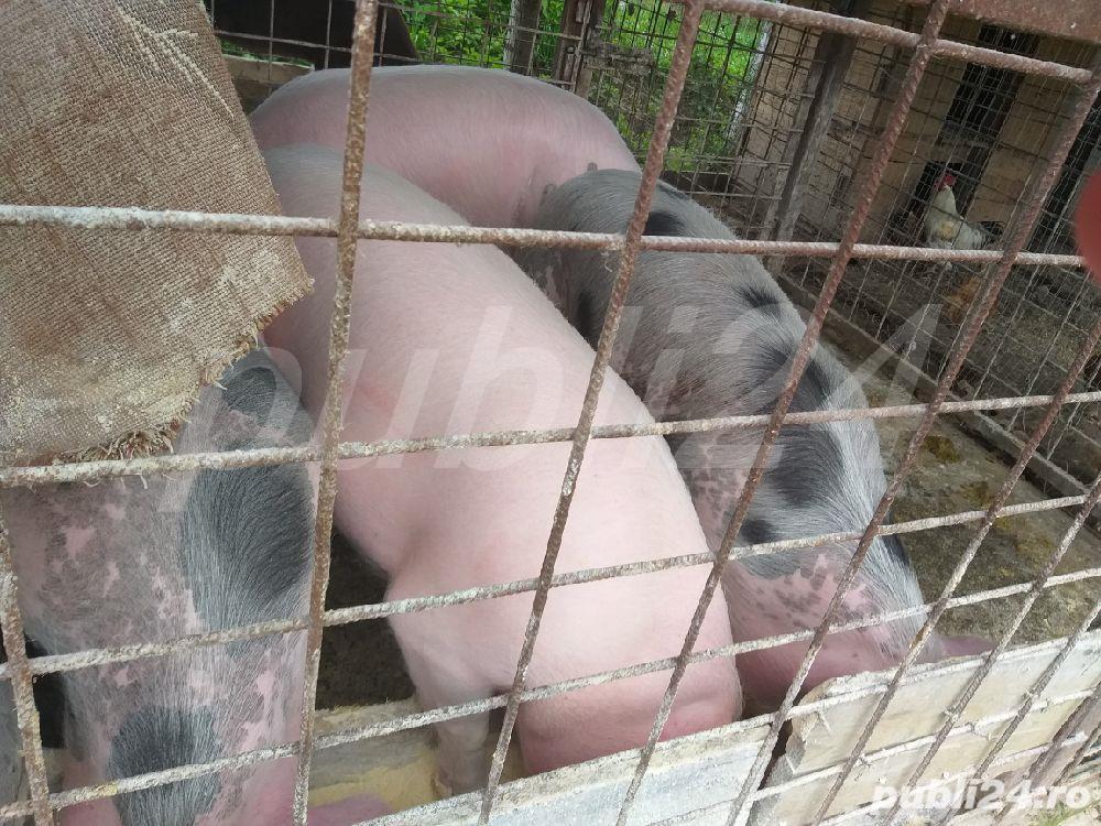 porci grasi de vanzare,greutate 80-130kg
