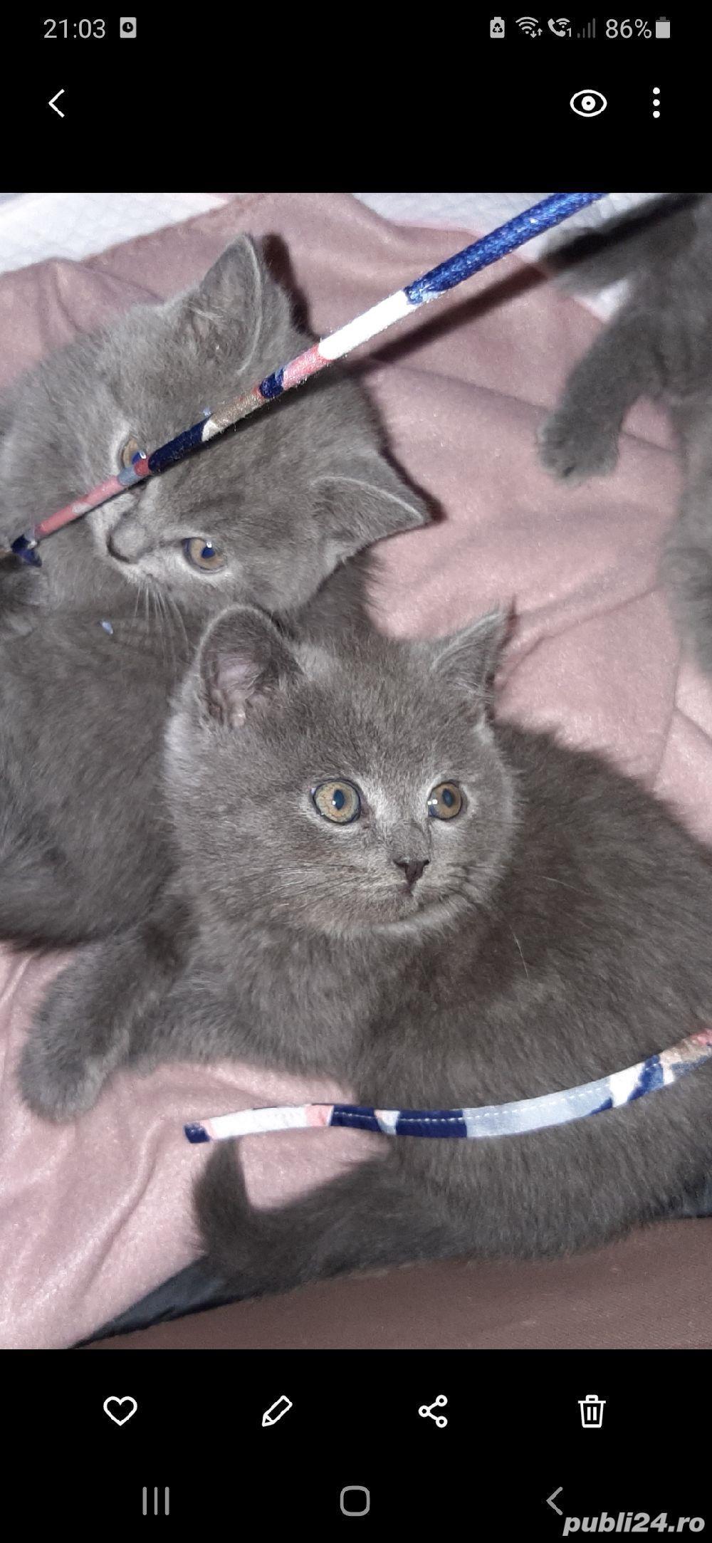 pisici british shorthair blu de 8 saptamani