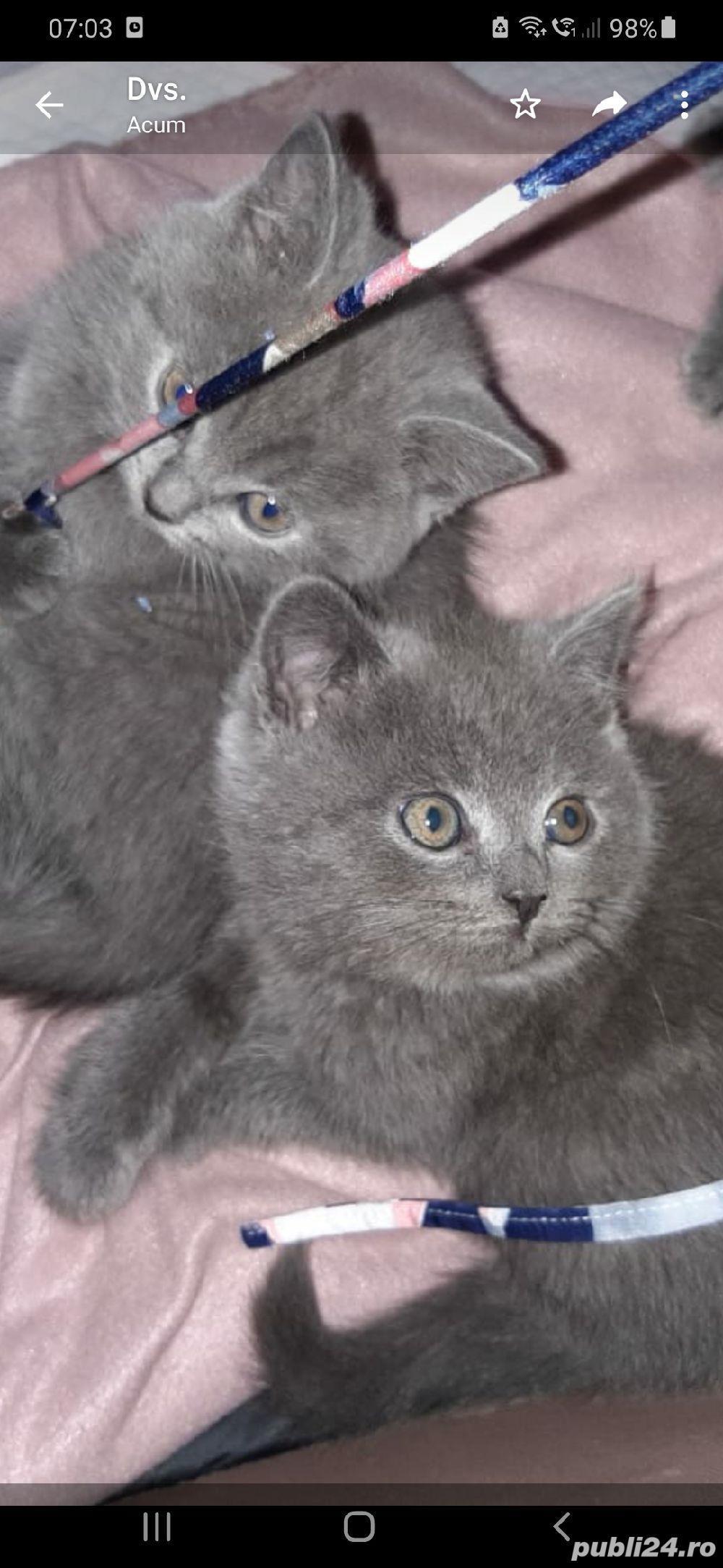 pisici british shorthair blu cu pasaport si cip .au12 saptamani