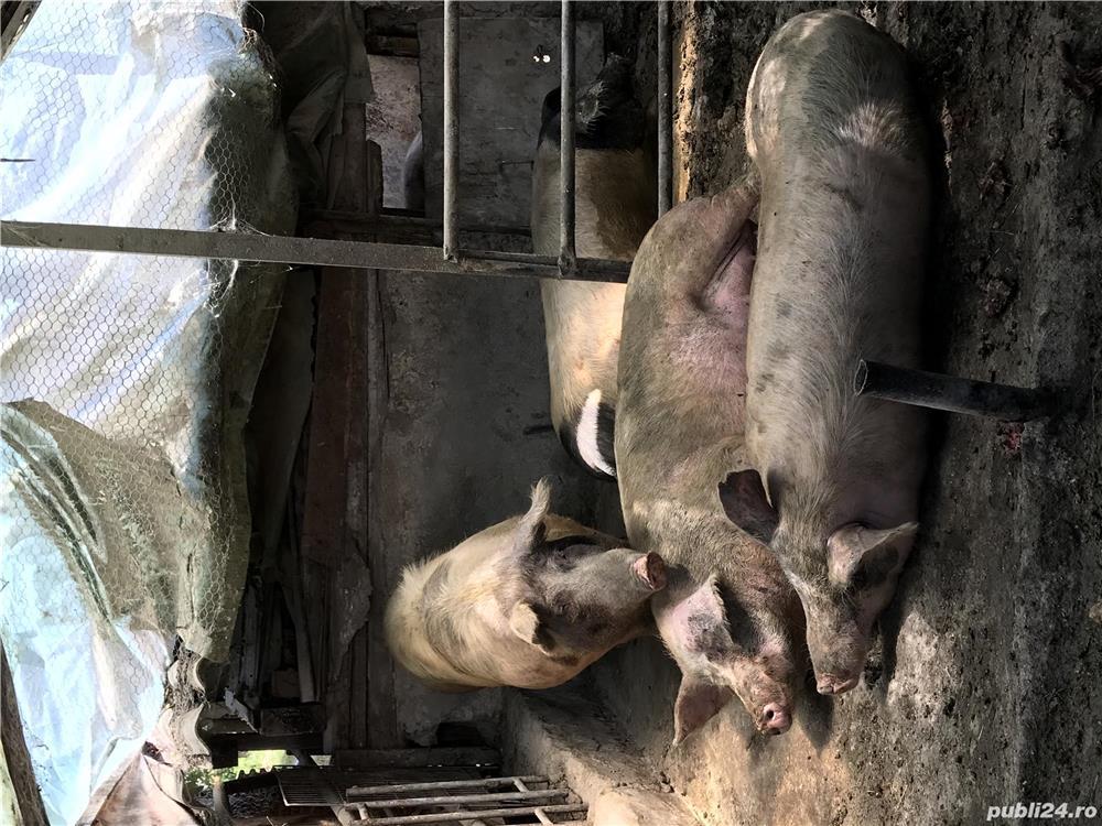 Vând porci crescuți natural