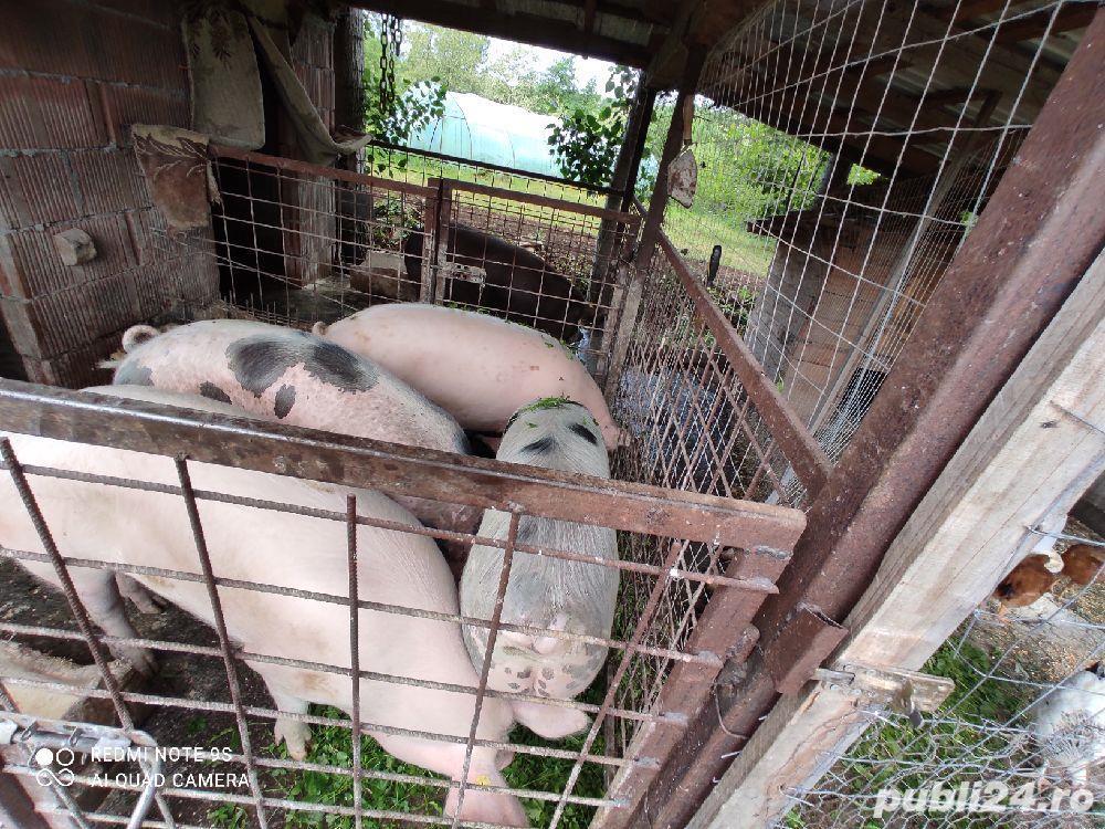 Porci grasi crescuti in gospodaria propie