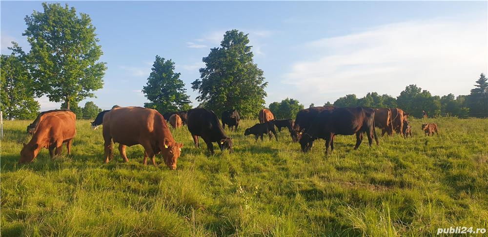 Aberdeen Angus 15 bucăți + un taur de 2 ani