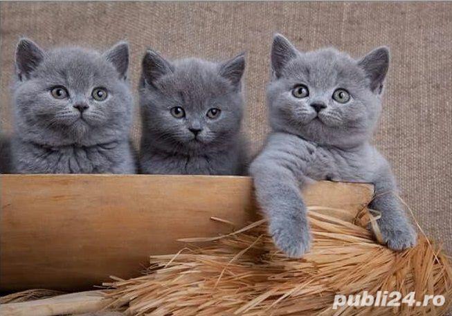 British Shorthair Blue - Genetica de top - garantie veterinara