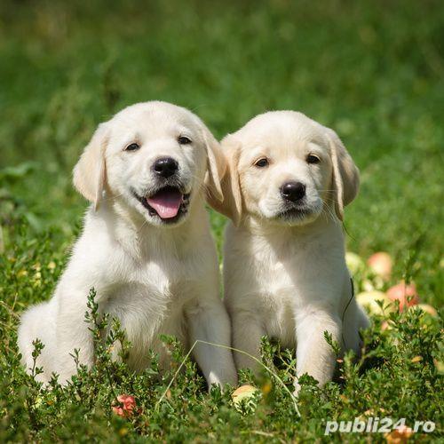 Labrador Retriever par scurt, aurii, negri și ciocolatii