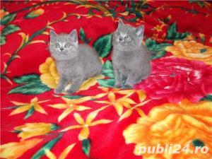 Pisici british shorthair super - imagine 2