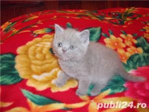 Pisici british shorthair super - imagine 5