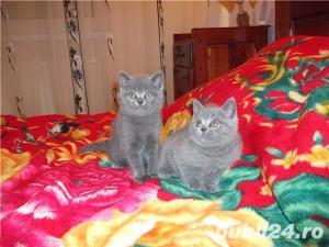 Pisici british shorthair super - imagine 8