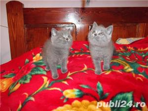 pisici british blue si lila - imagine 7
