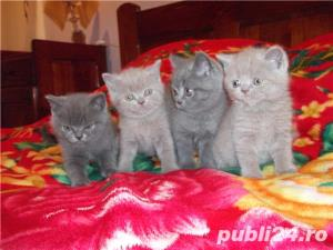 pisici british blue si lila - imagine 6