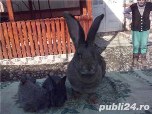 Vand iepuri urias gri - imagine 2