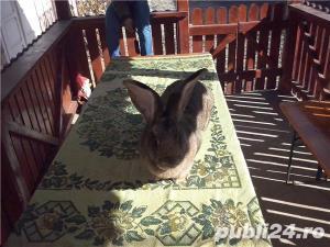 Vand iepuri urias gri - imagine 7