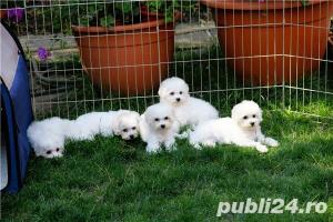 Vand Bichon Frise cu pedigree si pasaport international - imagine 10