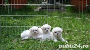 Vand Bichon Frise cu pedigree si pasaport international - imagine 11