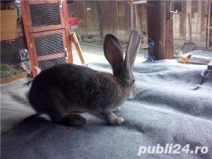 Vand iepuri Urias German - imagine 1