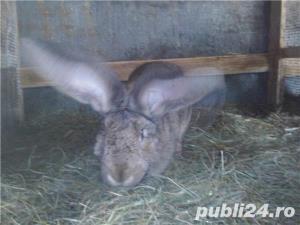 Vand iepuri Urias German - imagine 3