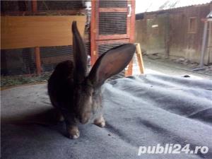Vand iepuri Urias German - imagine 4